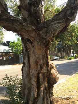 mother treeIMG_5056